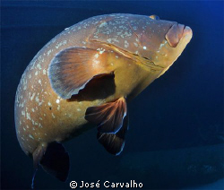 Giant grouper at the Madeirense Wreck, Porto Santo, Portu... by Jos&#233; Carvalho 